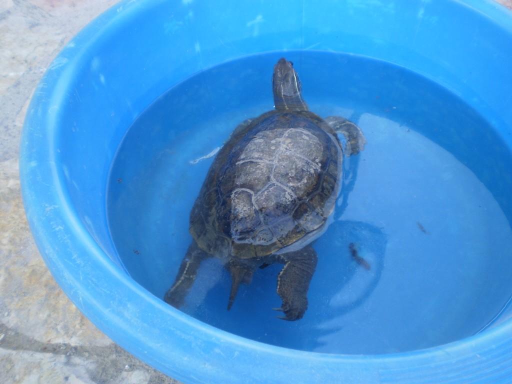 Χελώνα Ερυμάνθου